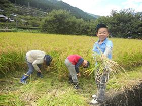 田んぼの学校 稲刈りのようす