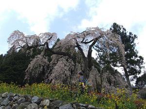 西村大師堂のしだれ桜