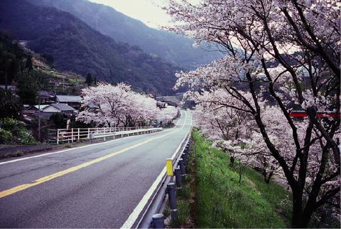 35.旭の桜並木