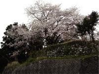 13.庄屋の墓と苗代桜