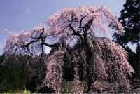 14.西村大師堂のしだれ桜