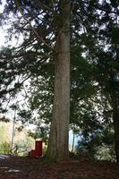 22.佐賀の大杉